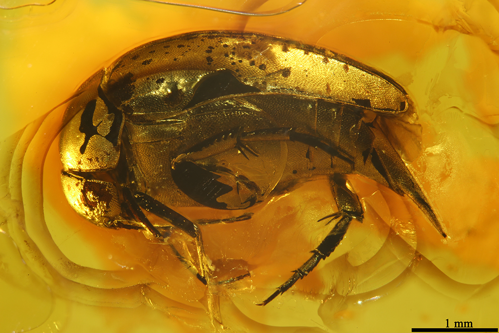 http://mczbase.mcz.harvard.edu/specimen_images/entomology/paleo/large/PALE-19447_Mordellidae.jpg