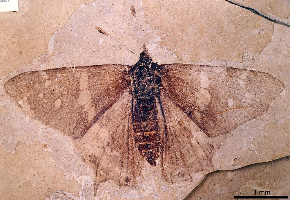 http://mczbase.mcz.harvard.edu/specimen_images/entomology/paleo/large/PALE-1_Prodryas_persephone_holotype.jpg