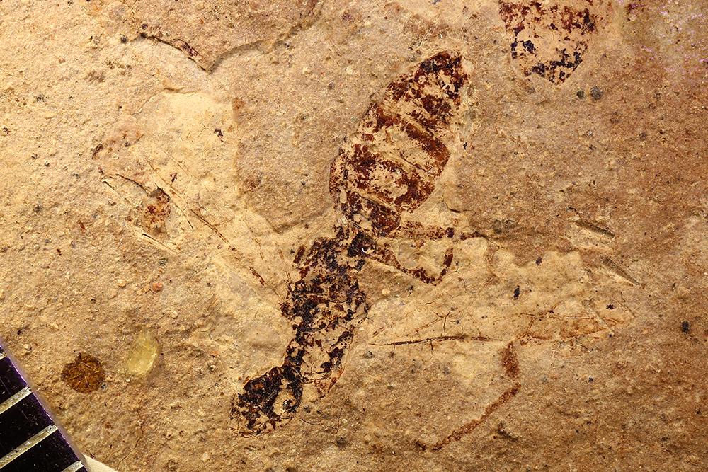 Image of Camponotus microcephalus