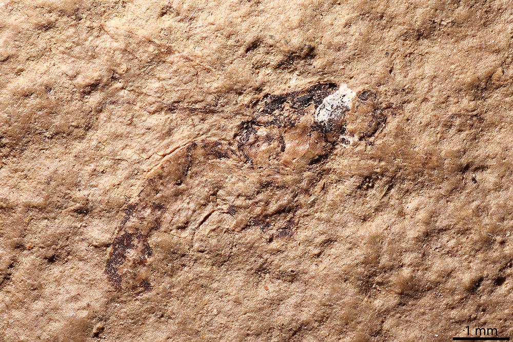 http://mczbase.mcz.harvard.edu/specimen_images/entomology/paleo/large/PALE-2134_Polysphincta_mortuaria_holotype_2.jpg