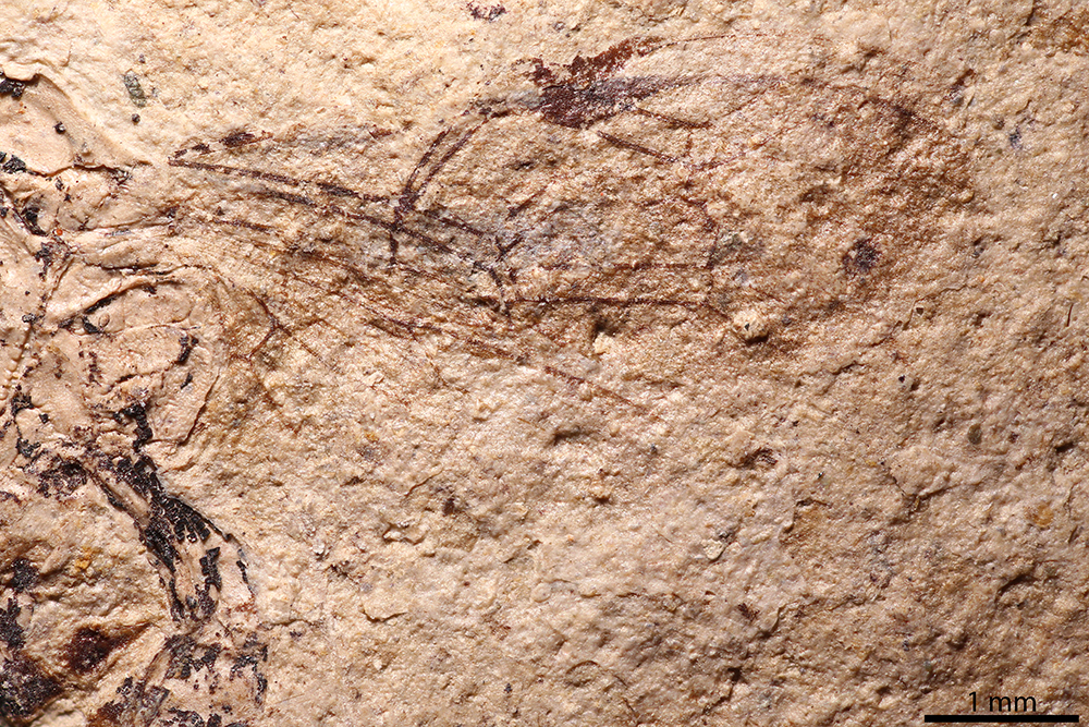 http://mczbase.mcz.harvard.edu/specimen_images/entomology/paleo/large/PALE-2136_Polysphincta_petrorum_holotype_3.jpg