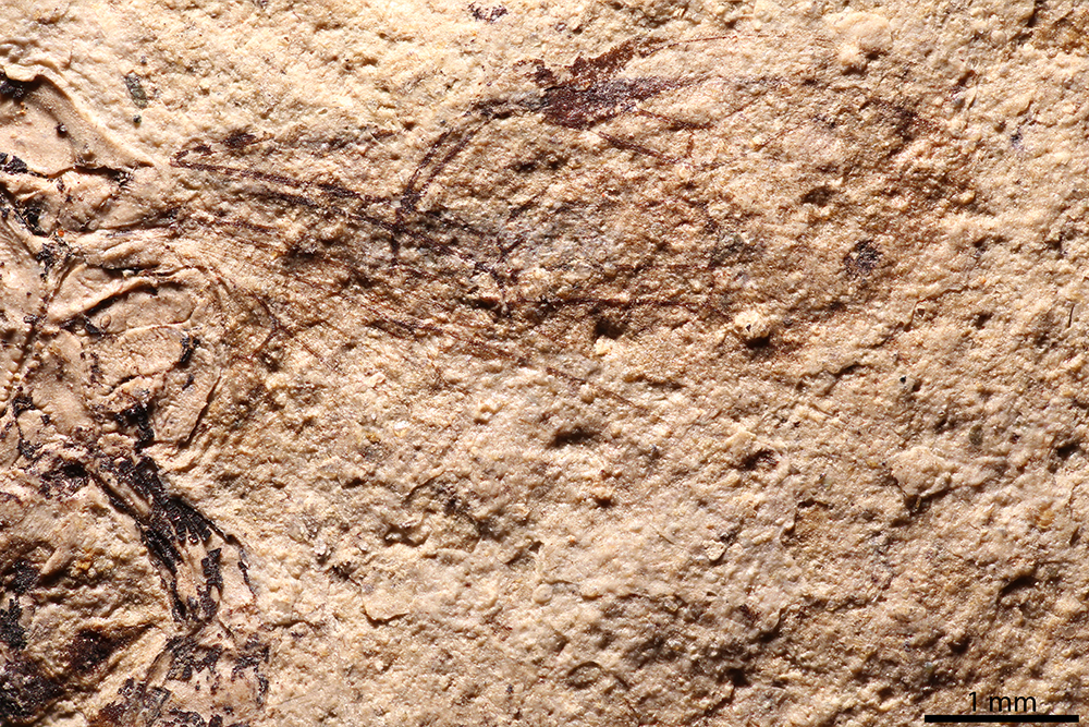 http://mczbase.mcz.harvard.edu/specimen_images/entomology/paleo/large/PALE-2136_Polysphincta_petrorum_holotype_4.jpg