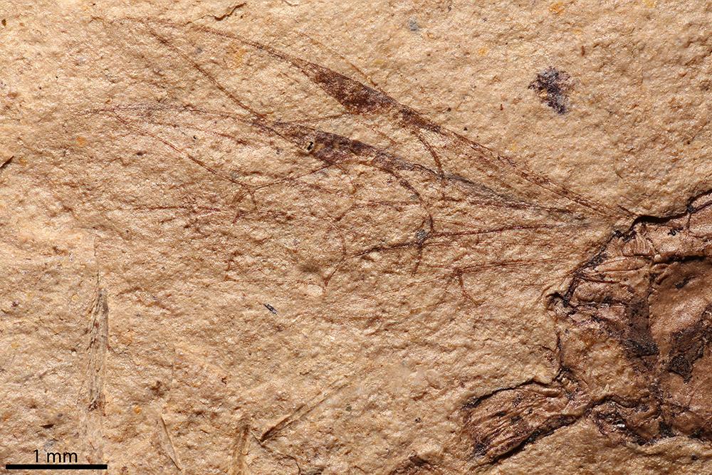 http://mczbase.mcz.harvard.edu/specimen_images/entomology/paleo/large/PALE-2160_Pimpla_senilis_holotype_3.jpg