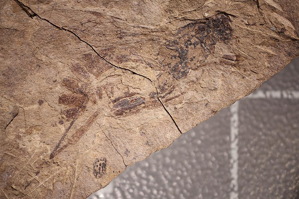 http://mczbase.mcz.harvard.edu/specimen_images/entomology/paleo/large/PALE-2211_Xylonomus_sejugatus_holotype_1.jpg