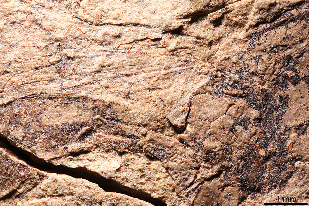 http://mczbase.mcz.harvard.edu/specimen_images/entomology/paleo/large/PALE-2211_Xylonomus_sejugatus_holotype_4.jpg
