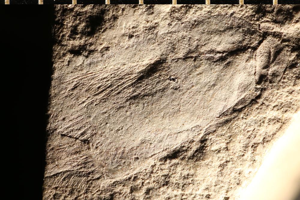 http://mczbase.mcz.harvard.edu/specimen_images/entomology/paleo/large/PALE-252_Bothromicromus_lachlani_holotype.jpg