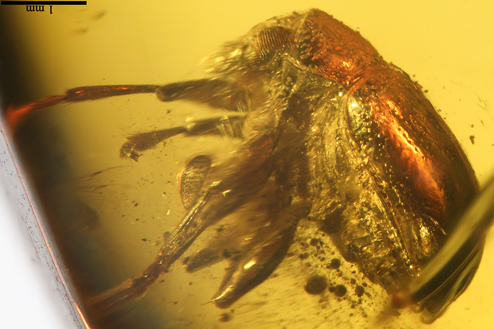 Media of type image, MCZ:Ent:PALE-27767 Identified as Chrysomelidae sp..