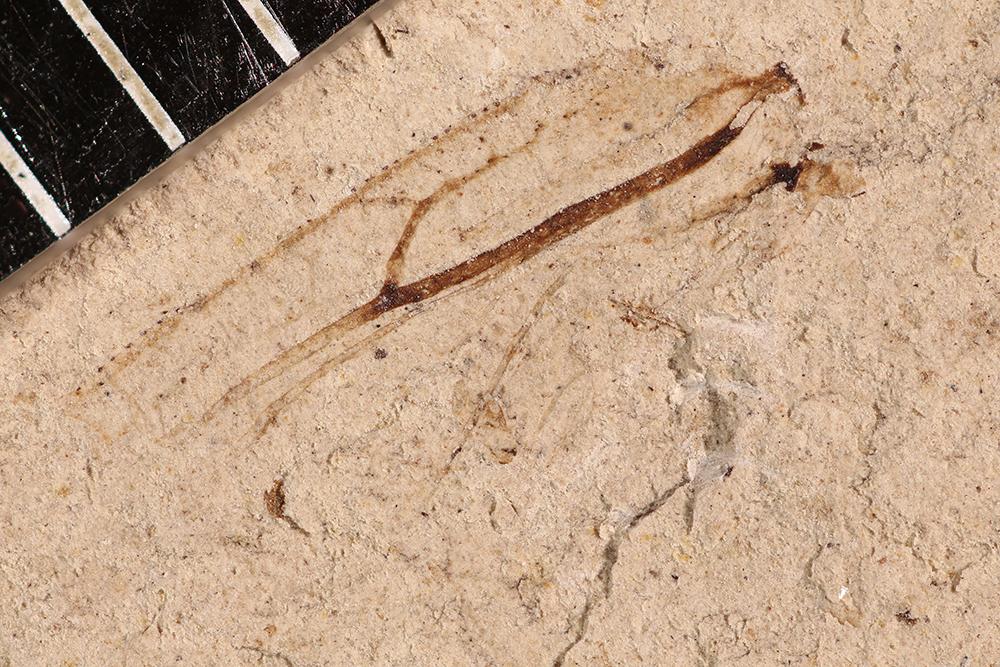http://mczbase.mcz.harvard.edu/specimen_images/entomology/paleo/large/PALE-2796_Protereisma_sp.jpg