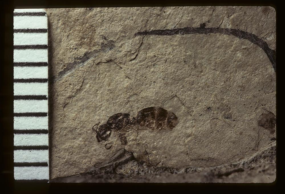 Image of Dolichoderus rohweri