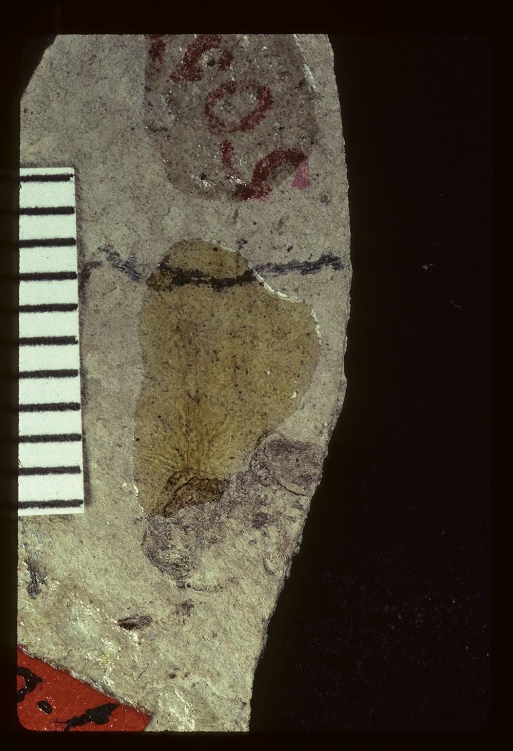 Image of Eulithomyrmex rugosus
