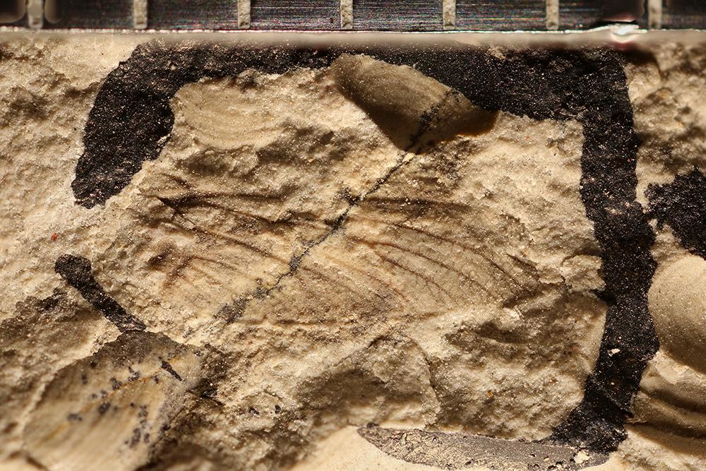 http://mczbase.mcz.harvard.edu/specimen_images/entomology/paleo/large/PALE-29365_Ephemeroptera.jpg