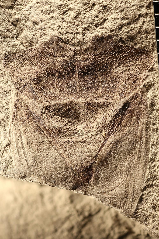 http://mczbase.mcz.harvard.edu/specimen_images/entomology/paleo/large/PALE-2941b_Latahcoris_spectatus_holotype.jpg