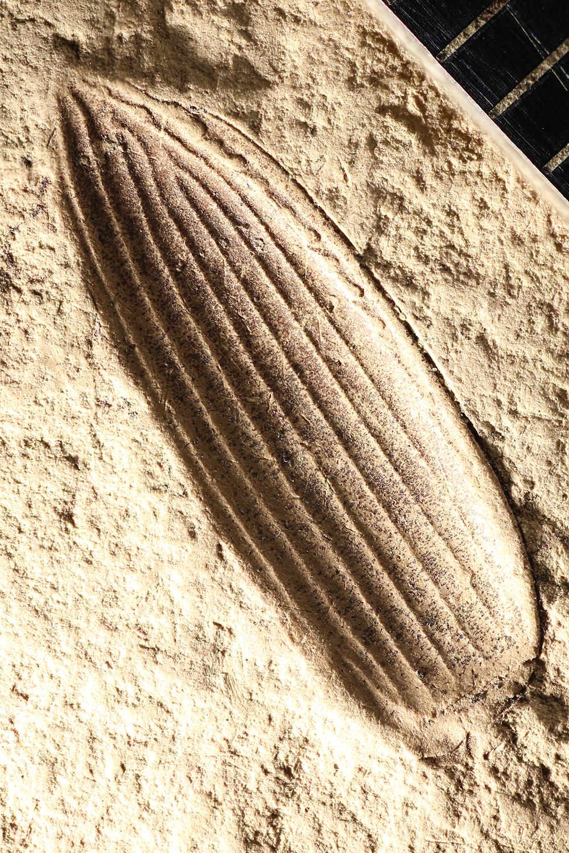 http://mczbase.mcz.harvard.edu/specimen_images/entomology/paleo/large/PALE-2945_Pterostichus_fernquisti_paratype.jpg