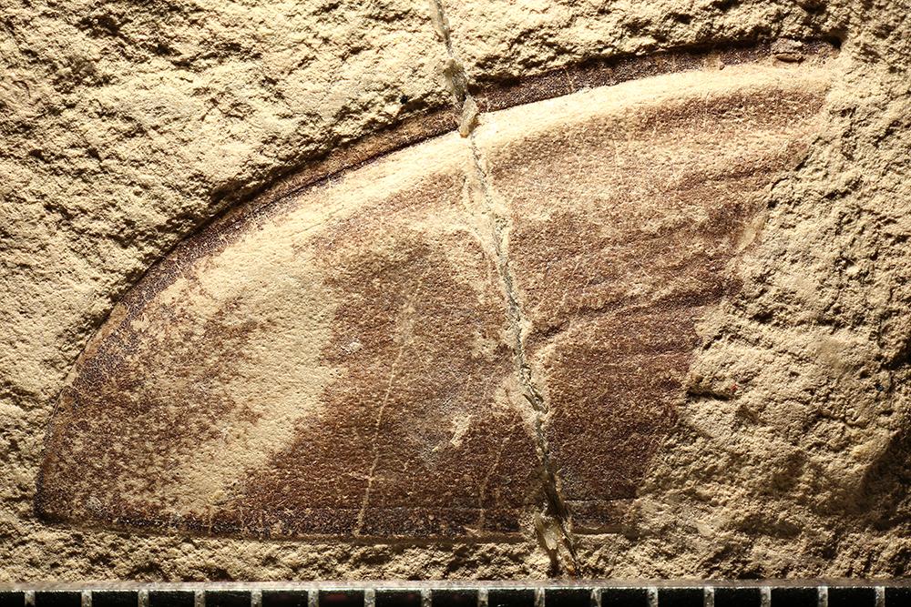 http://mczbase.mcz.harvard.edu/specimen_images/entomology/paleo/large/PALE-2947_Dytiscus_latahensis_holotype.jpg