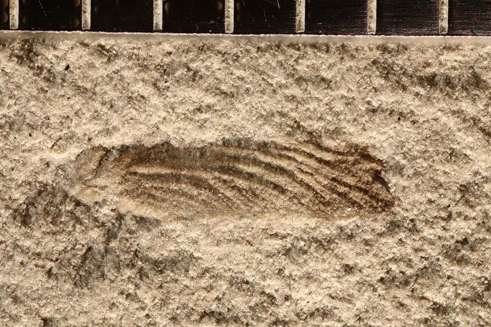 http://mczbase.mcz.harvard.edu/specimen_images/entomology/paleo/large/PALE-29599_Ephemeroptera.jpg