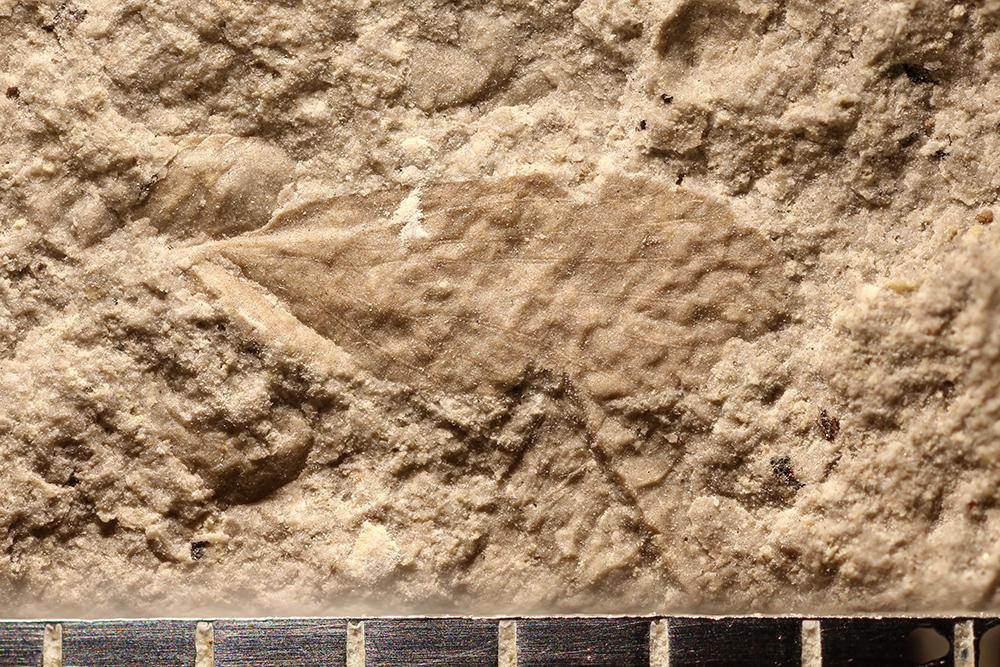 http://mczbase.mcz.harvard.edu/specimen_images/entomology/paleo/large/PALE-29842_Lemmatophoridae.jpg