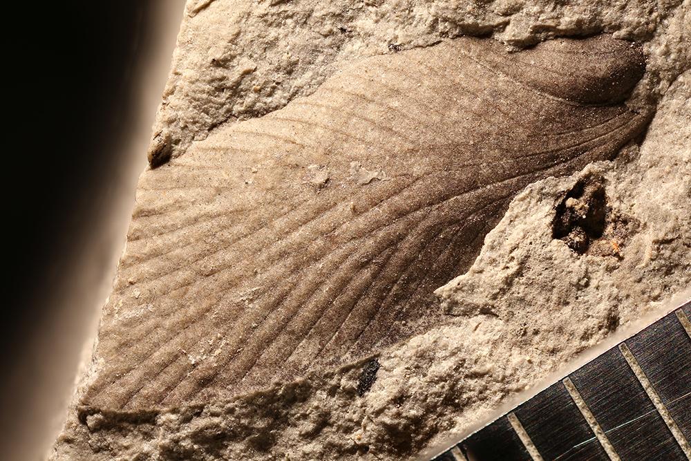 http://mczbase.mcz.harvard.edu/specimen_images/entomology/paleo/large/PALE-29915_Blattaria.jpg