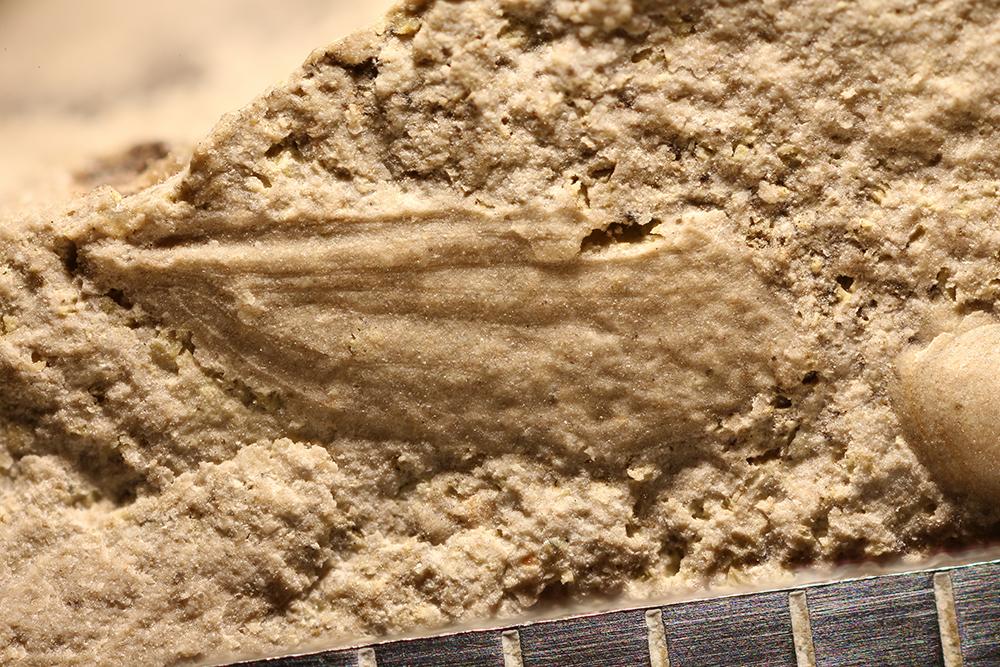 http://mczbase.mcz.harvard.edu/specimen_images/entomology/paleo/large/PALE-29925_Lemmatophoridae.jpg