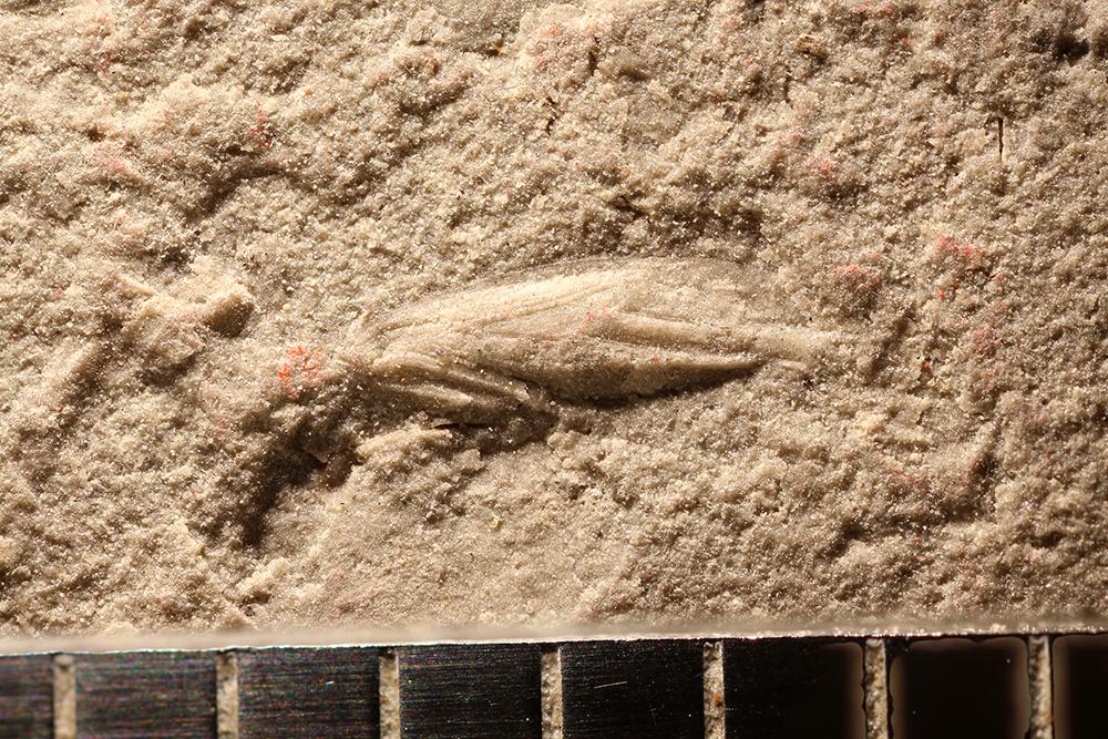 http://mczbase.mcz.harvard.edu/specimen_images/entomology/paleo/large/PALE-29930_Hemiptera.jpg