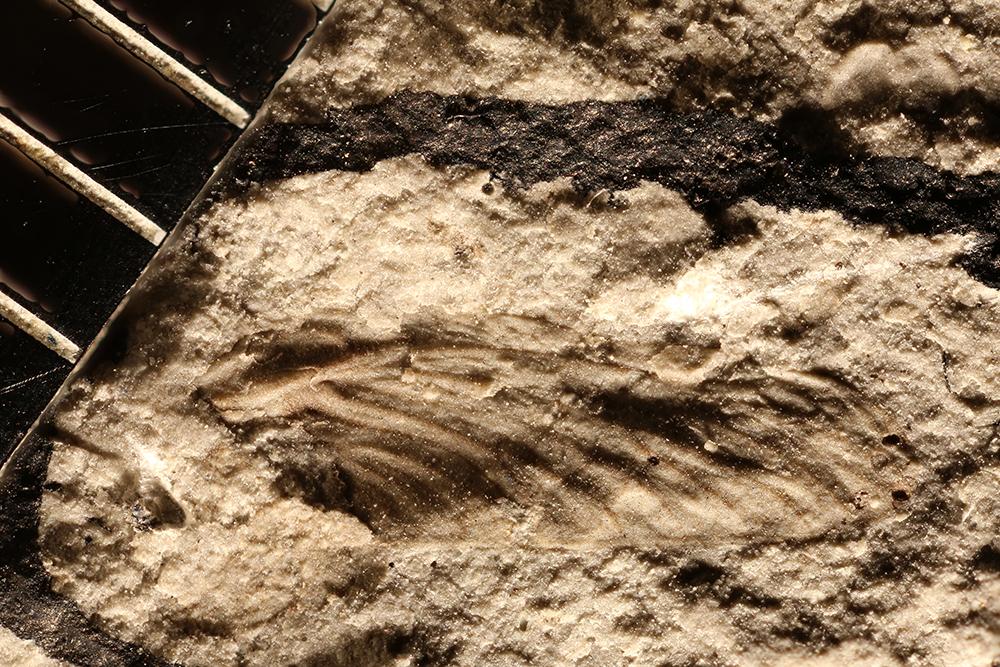 http://mczbase.mcz.harvard.edu/specimen_images/entomology/paleo/large/PALE-29957_Ephemeroptera.jpg