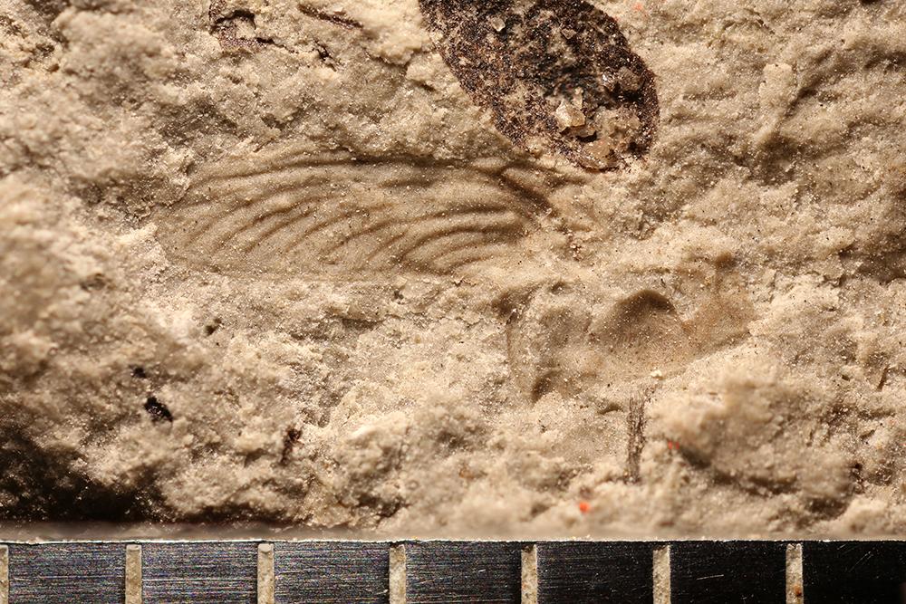 http://mczbase.mcz.harvard.edu/specimen_images/entomology/paleo/large/PALE-29960_Ephemeroptera.jpg