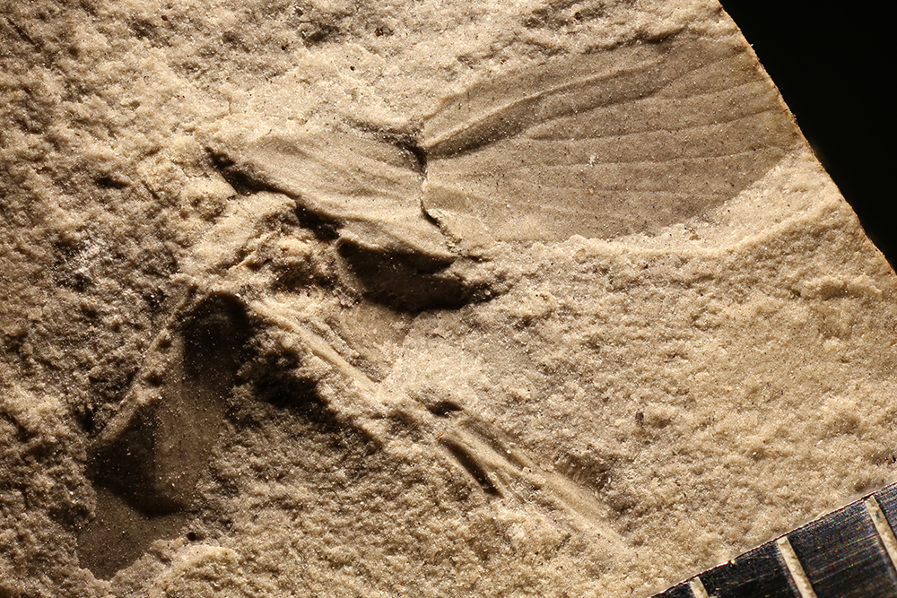 http://mczbase.mcz.harvard.edu/specimen_images/entomology/paleo/large/PALE-29992_Miomoptera.jpg