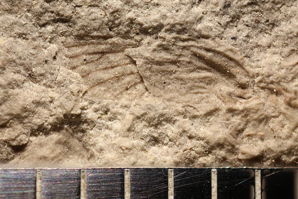 http://mczbase.mcz.harvard.edu/specimen_images/entomology/paleo/large/PALE-30011_Ephemeroptera.jpg
