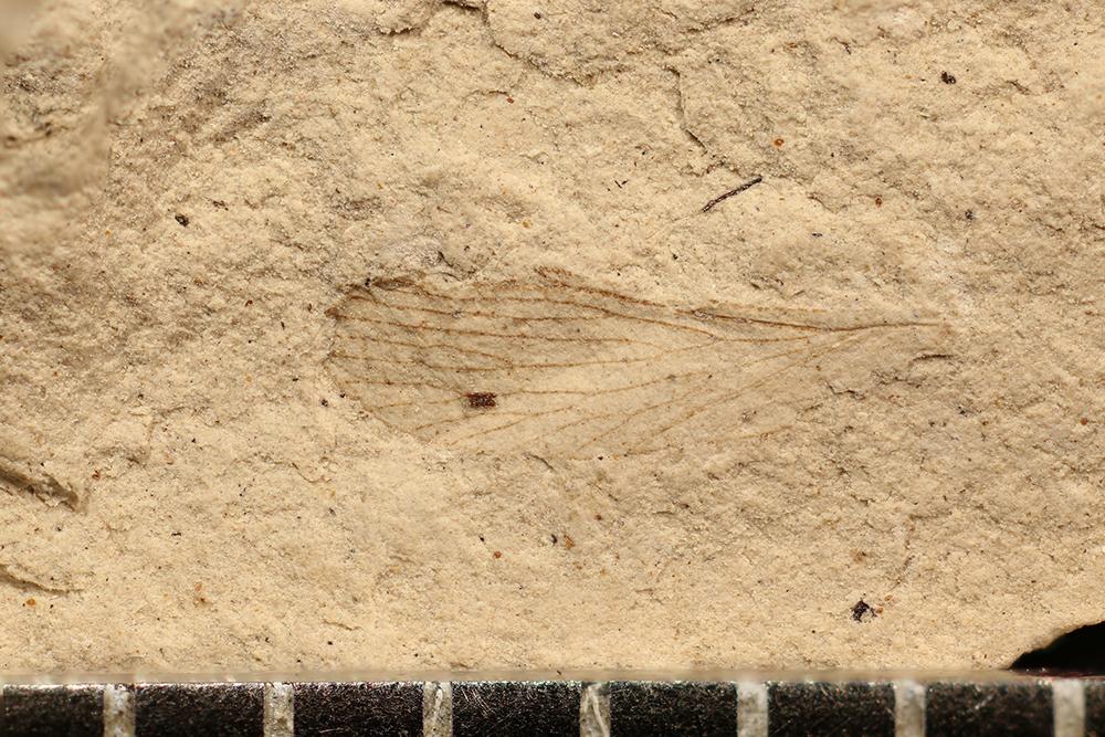 http://mczbase.mcz.harvard.edu/specimen_images/entomology/paleo/large/PALE-3015b_Permopanorpa_inaequalis.jpg