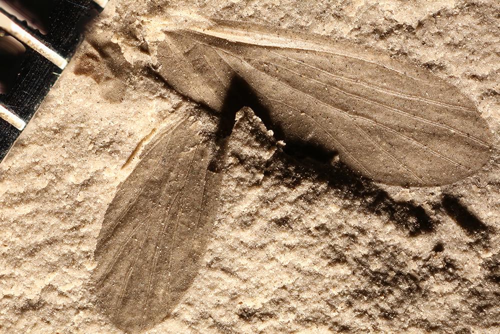 http://mczbase.mcz.harvard.edu/specimen_images/entomology/paleo/large/PALE-30364_Grylloblattodea.jpg