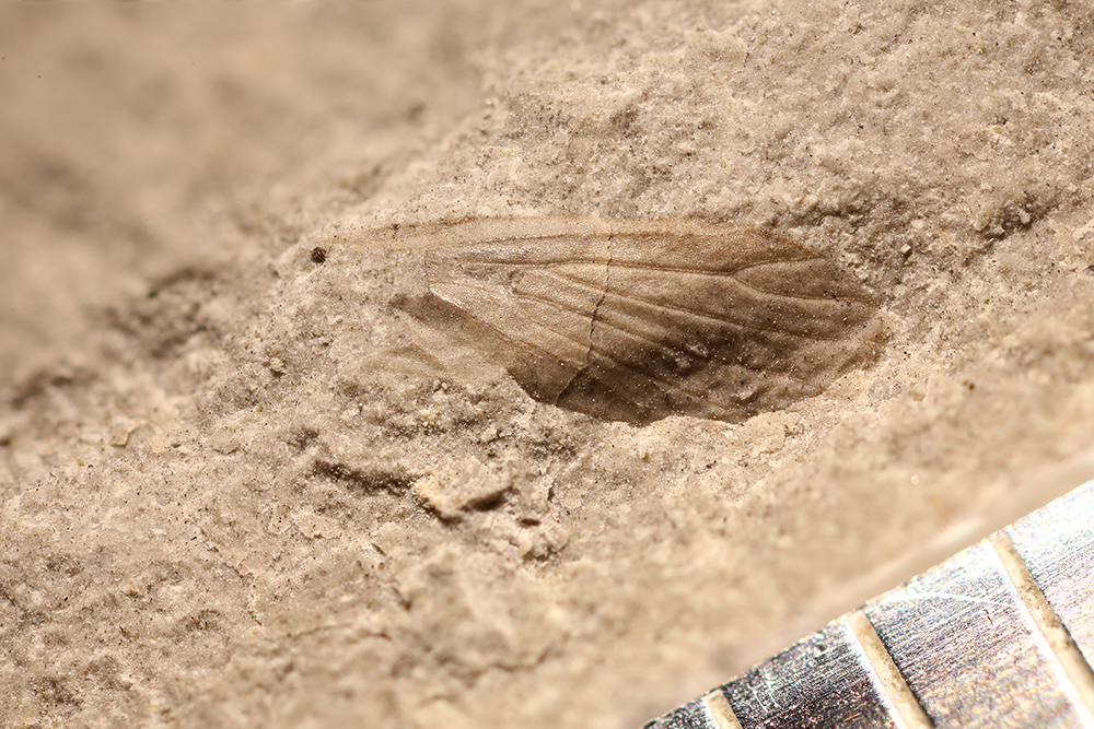 http://mczbase.mcz.harvard.edu/specimen_images/entomology/paleo/large/PALE-30464_Miomoptera.jpg