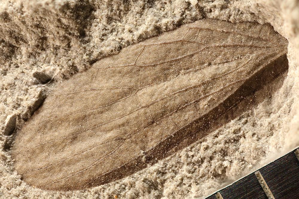 http://mczbase.mcz.harvard.edu/specimen_images/entomology/paleo/large/PALE-30465_Grylloblattodea.jpg