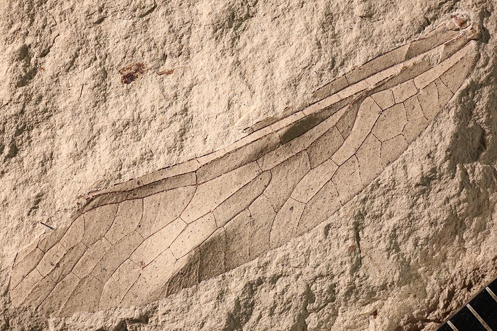 http://mczbase.mcz.harvard.edu/specimen_images/entomology/paleo/large/PALE-3046b_Ditaxineura_anomalostigma.jpg