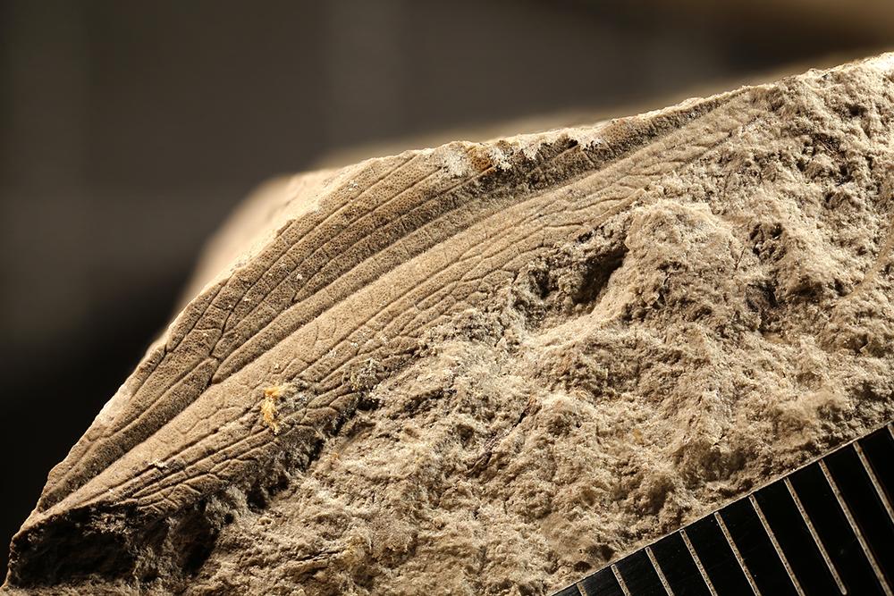 http://mczbase.mcz.harvard.edu/specimen_images/entomology/paleo/large/PALE-30471_Homocladus_sp.jpg