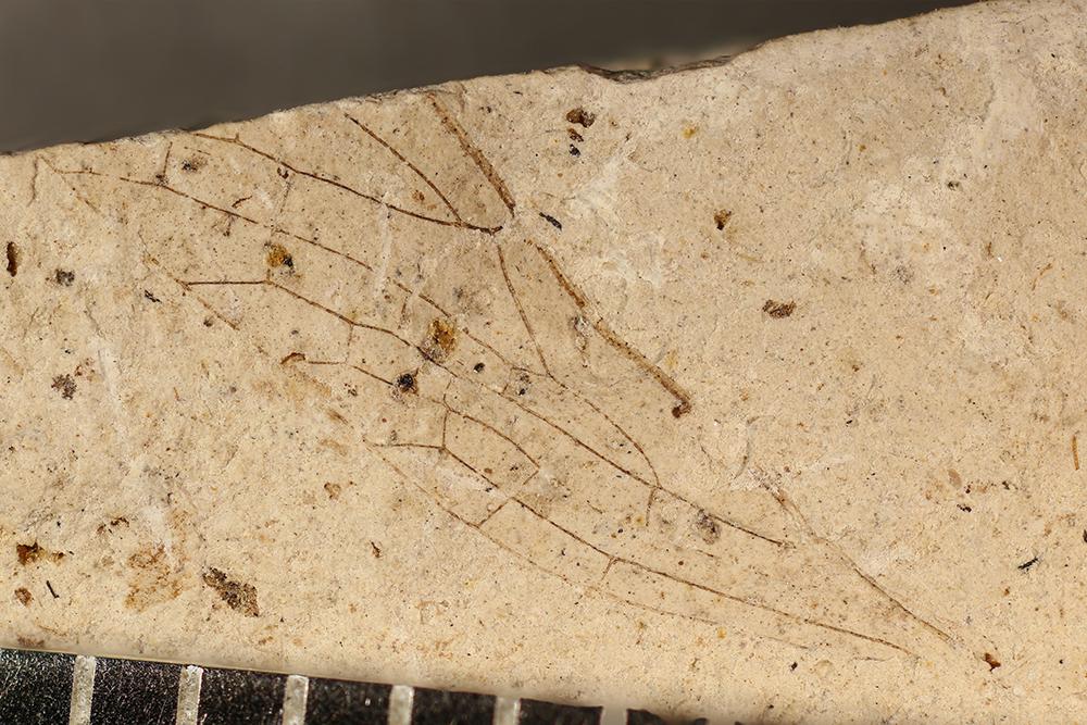 http://mczbase.mcz.harvard.edu/specimen_images/entomology/paleo/large/PALE-3048a_Protohymen_permianus.jpg