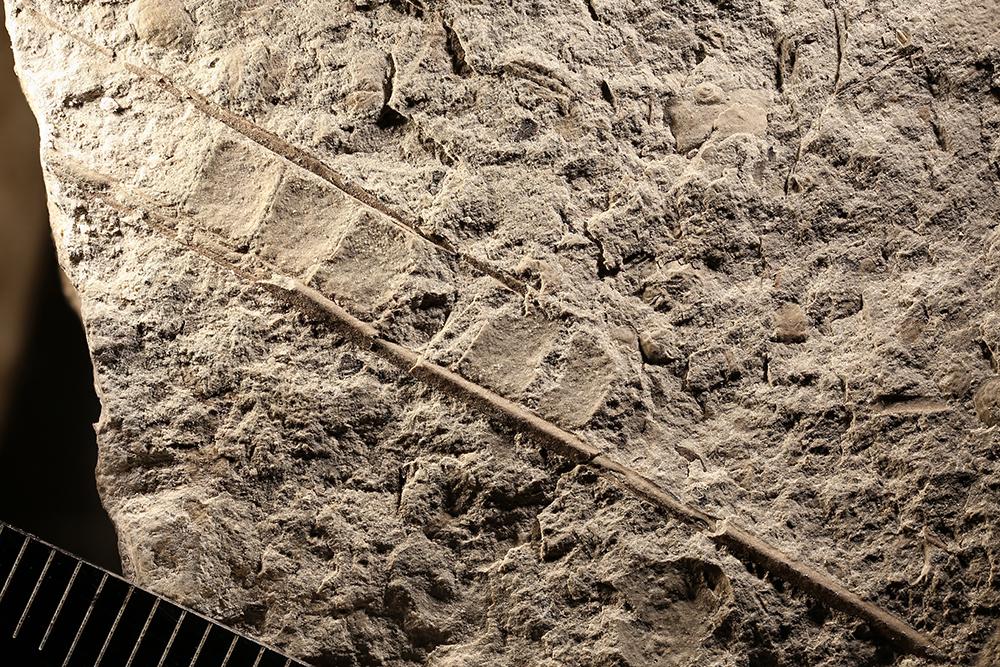 http://mczbase.mcz.harvard.edu/specimen_images/entomology/paleo/large/PALE-30516_Meganisoptera.jpg