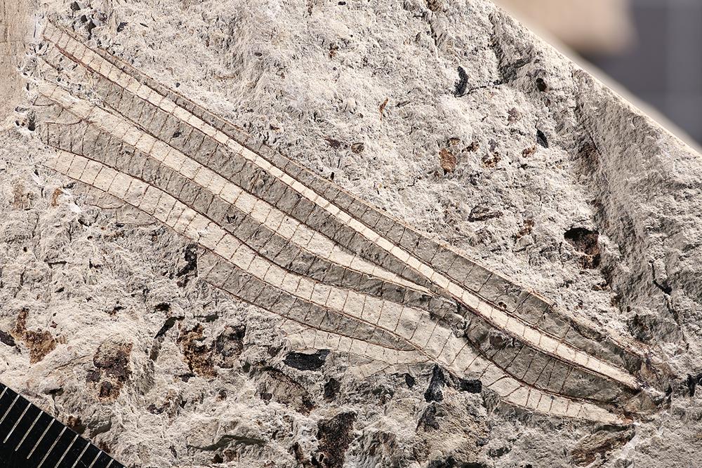http://mczbase.mcz.harvard.edu/specimen_images/entomology/paleo/large/PALE-3052a_Typus_permianus.jpg