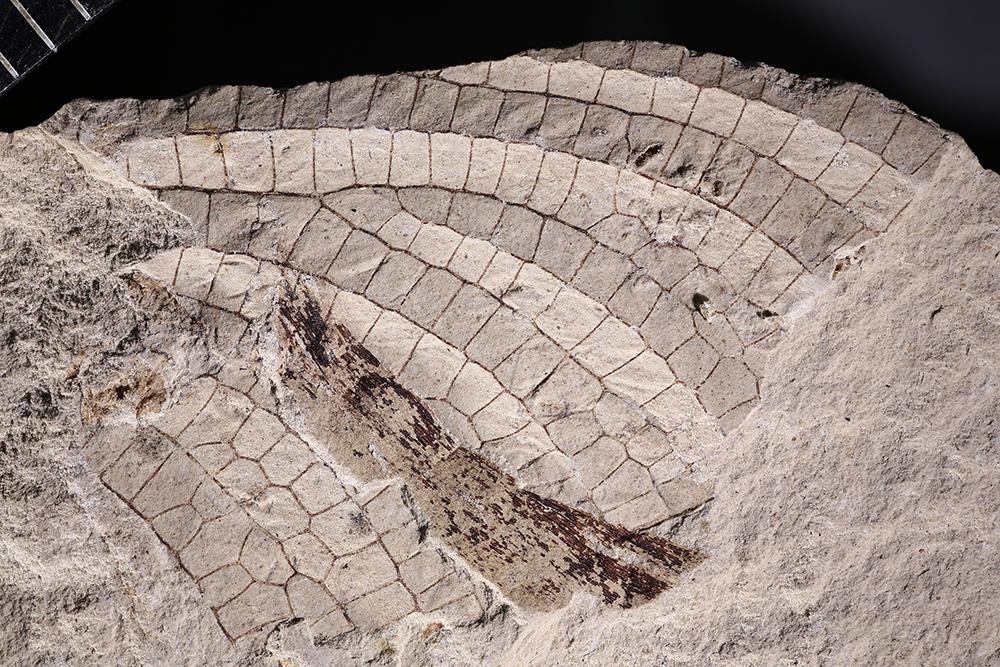http://mczbase.mcz.harvard.edu/specimen_images/entomology/paleo/large/PALE-3055a_Typus_permianus.jpg