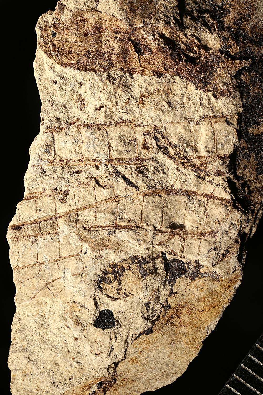 http://mczbase.mcz.harvard.edu/specimen_images/entomology/paleo/large/PALE-3058b_Megatypus_schucherti.jpg