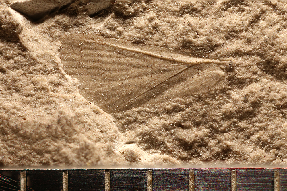 http://mczbase.mcz.harvard.edu/specimen_images/entomology/paleo/large/PALE-30608_Mecoptera.jpg