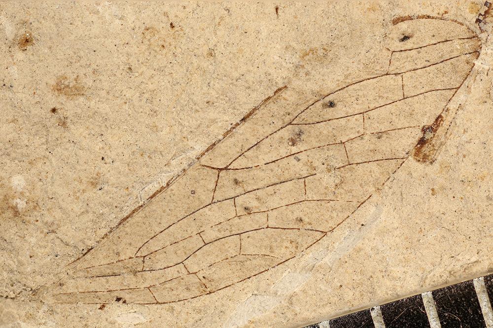 http://mczbase.mcz.harvard.edu/specimen_images/entomology/paleo/large/PALE-3063a_Protohymen_permianus.jpg