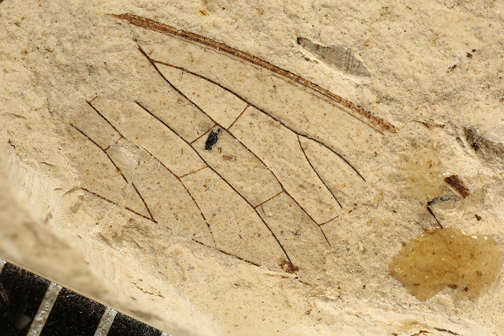 http://mczbase.mcz.harvard.edu/specimen_images/entomology/paleo/large/PALE-3067_Protohymenidae.jpg