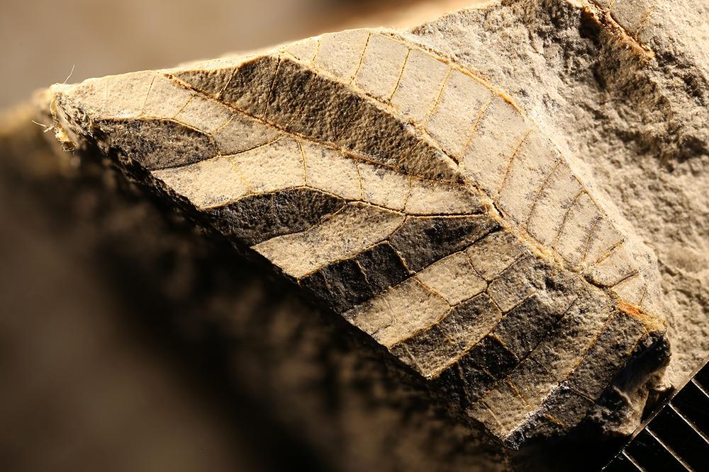 http://mczbase.mcz.harvard.edu/specimen_images/entomology/paleo/large/PALE-30731_Meganisoptera.jpg