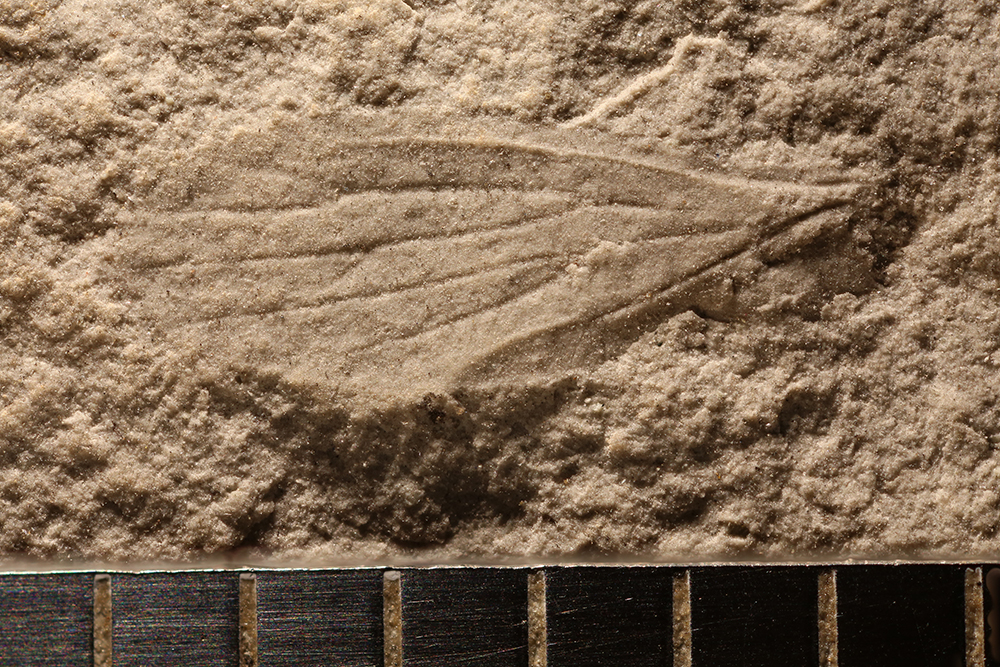 http://mczbase.mcz.harvard.edu/specimen_images/entomology/paleo/large/PALE-30842_Miomoptera.jpg