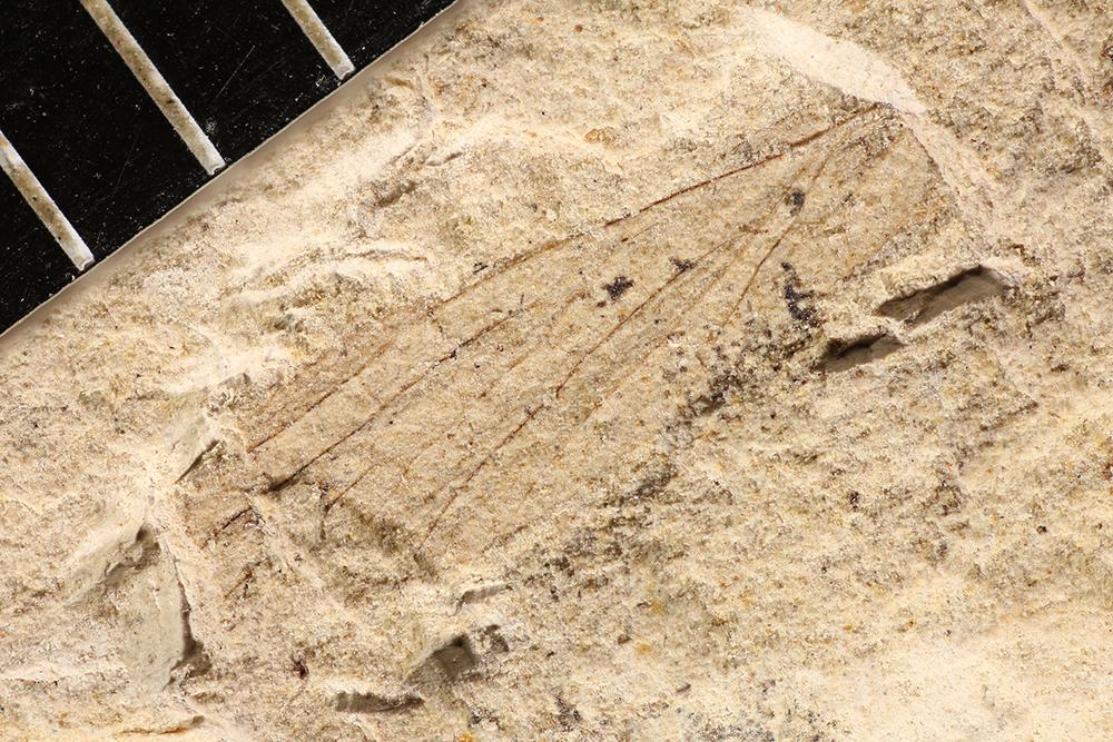 http://mczbase.mcz.harvard.edu/specimen_images/entomology/paleo/large/PALE-3091_Asthenohymen_dunbari.jpg