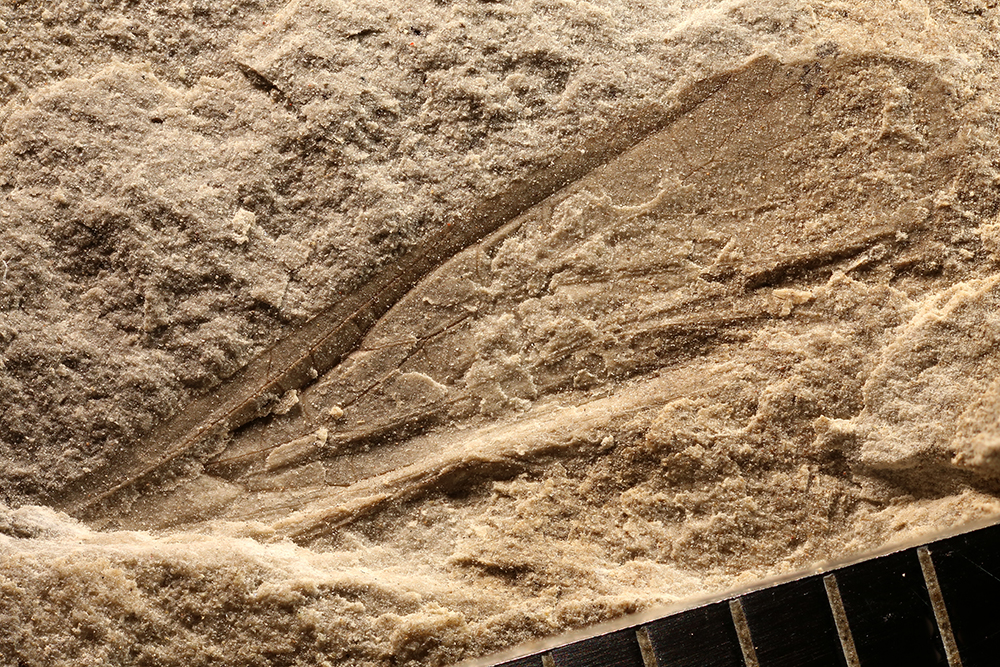 http://mczbase.mcz.harvard.edu/specimen_images/entomology/paleo/large/PALE-31036_Orthoptera.jpg