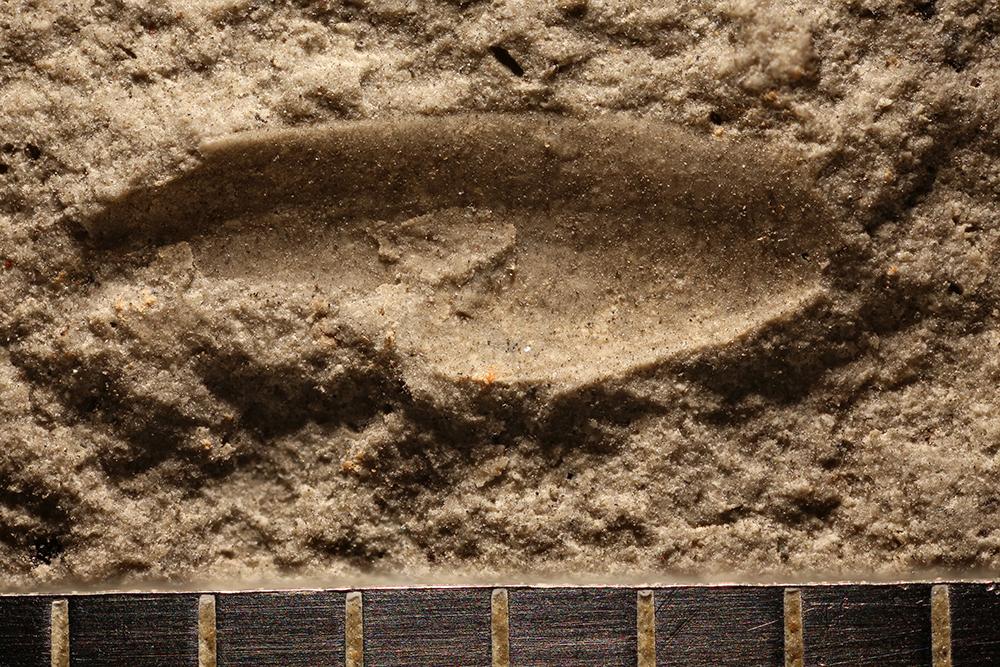http://mczbase.mcz.harvard.edu/specimen_images/entomology/paleo/large/PALE-31066_Protelytroptera.jpg