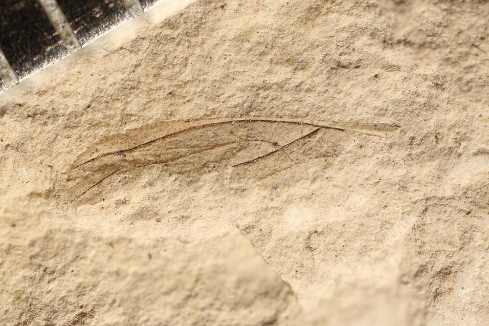 http://mczbase.mcz.harvard.edu/specimen_images/entomology/paleo/large/PALE-3108_Asthenohymen_sp.jpg