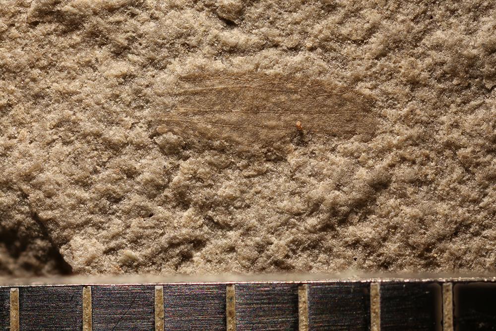 http://mczbase.mcz.harvard.edu/specimen_images/entomology/paleo/large/PALE-31117_Lemmatophoridae.jpg