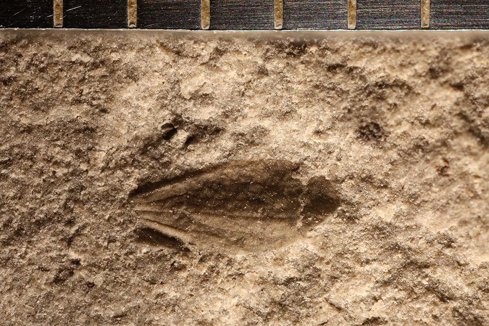 http://mczbase.mcz.harvard.edu/specimen_images/entomology/paleo/large/PALE-31119_Miomoptera.jpg