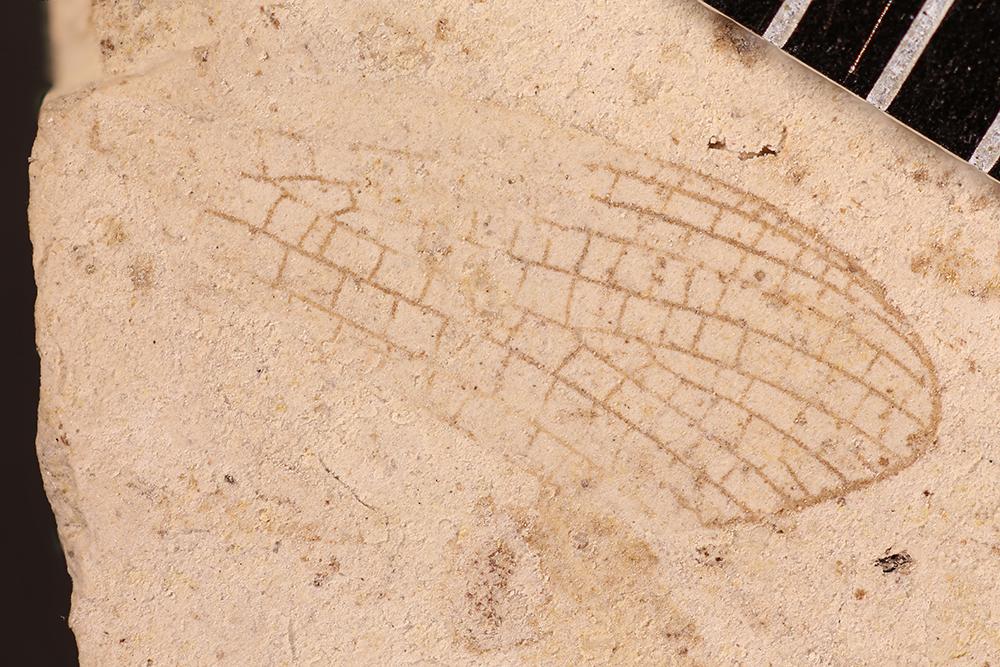 http://mczbase.mcz.harvard.edu/specimen_images/entomology/paleo/large/PALE-31184_Ephemeroptera.jpg